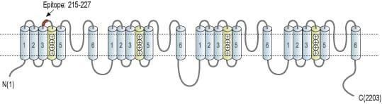CaV1.3 (extracellular) Antibody
