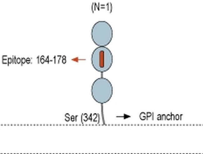 CNTFR (extracellular) Antibody