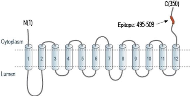 VAChT Antibody