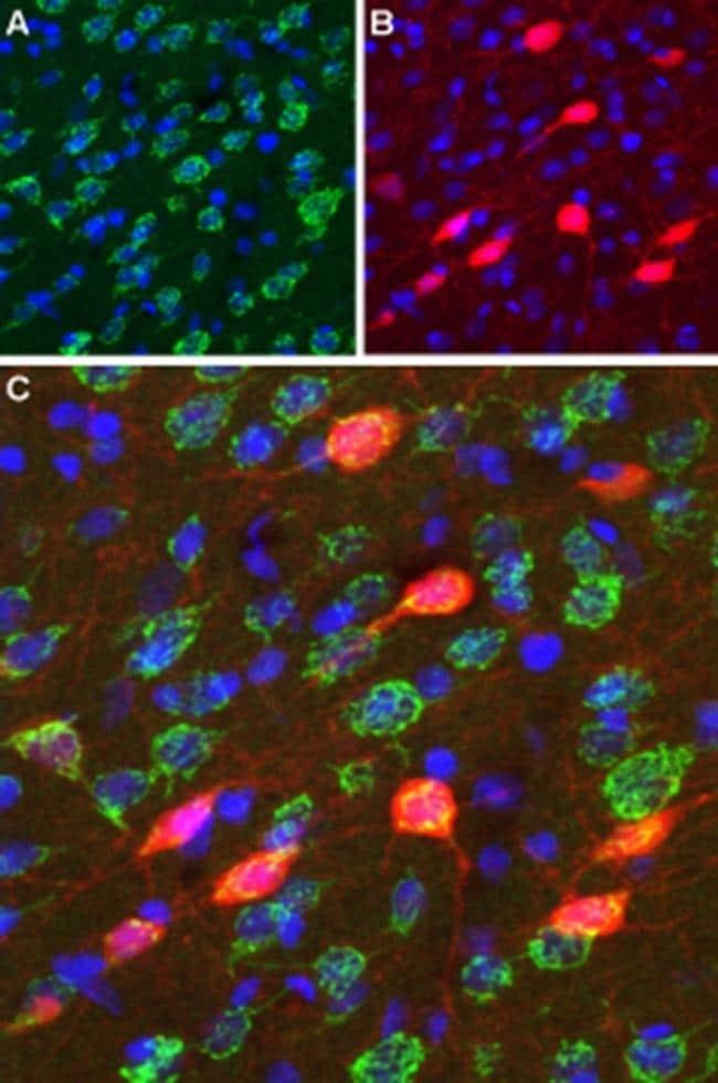 DRD3 (extracellular) Antibody in Immunohistochemistry (Frozen) (IHC (F))