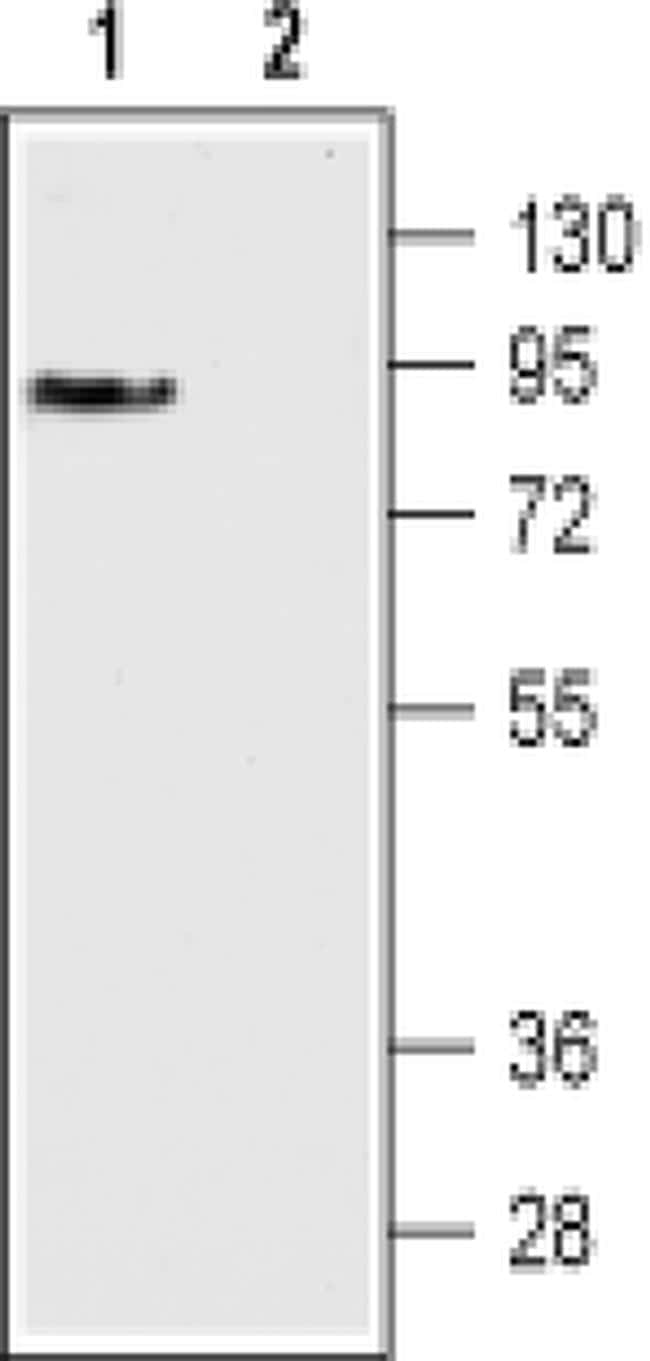 DRD3 (extracellular) Antibody in Western Blot (WB)