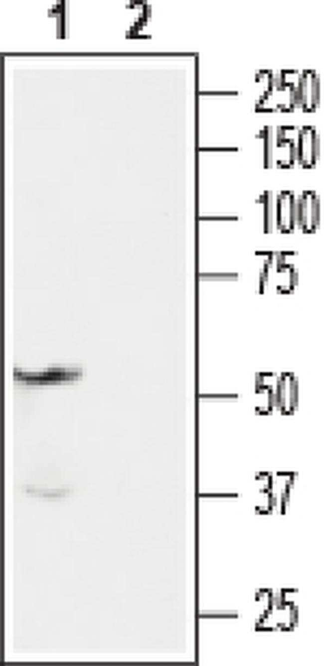 Endothelin A Receptor Antibody in Western Blot (WB)