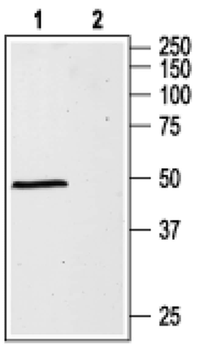 GABRA1 (extracellular) Antibody in Western Blot (WB)
