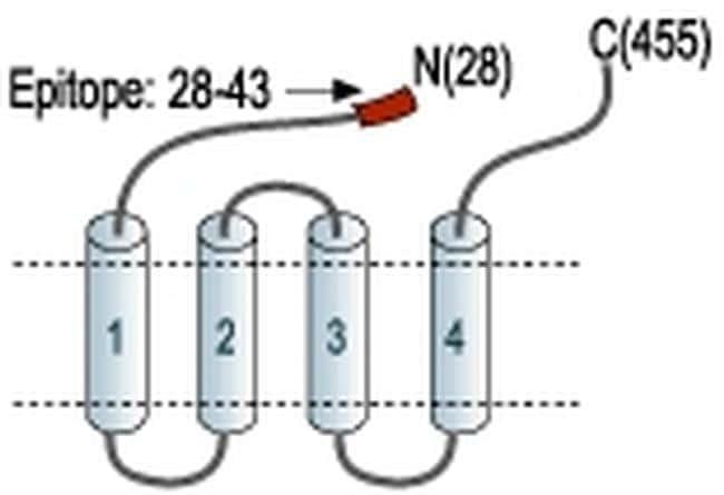 GABRA1 (extracellular) Antibody
