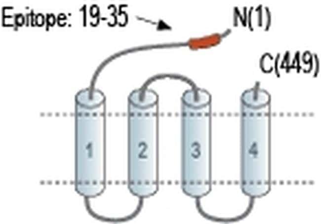 GABRD (extracellular) Antibody