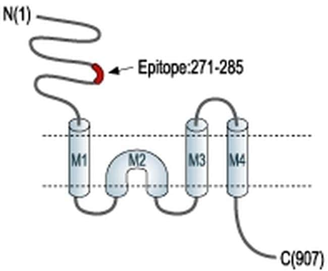 GluR1 (extracellular) Antibody