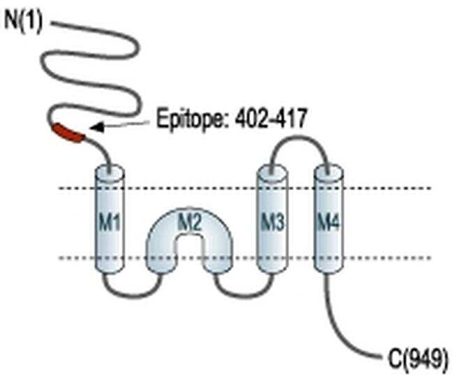 GRIK1 (extracellular) Antibody