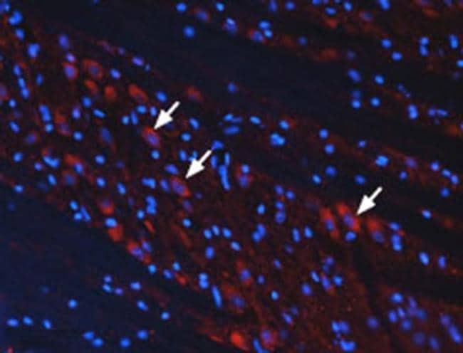 mGluR3 (extracellular) Antibody in Immunohistochemistry (Frozen) (IHC (F))