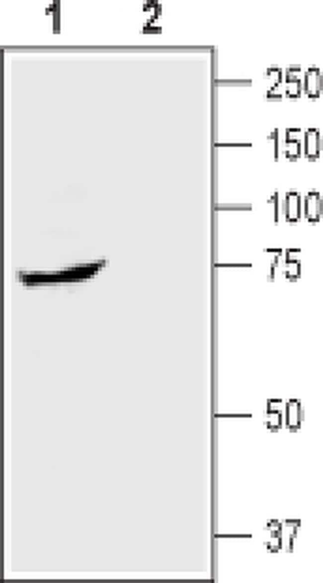 SGLT1 (extracellular) Antibody in Western Blot (WB)