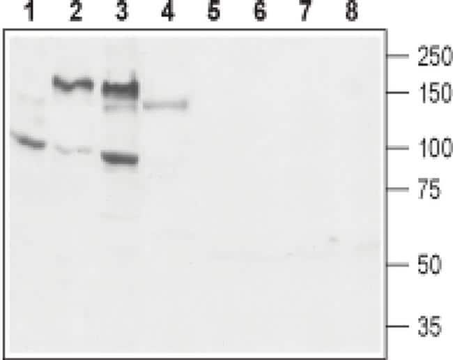 GP130 (extracellular) Antibody in Western Blot (WB)
