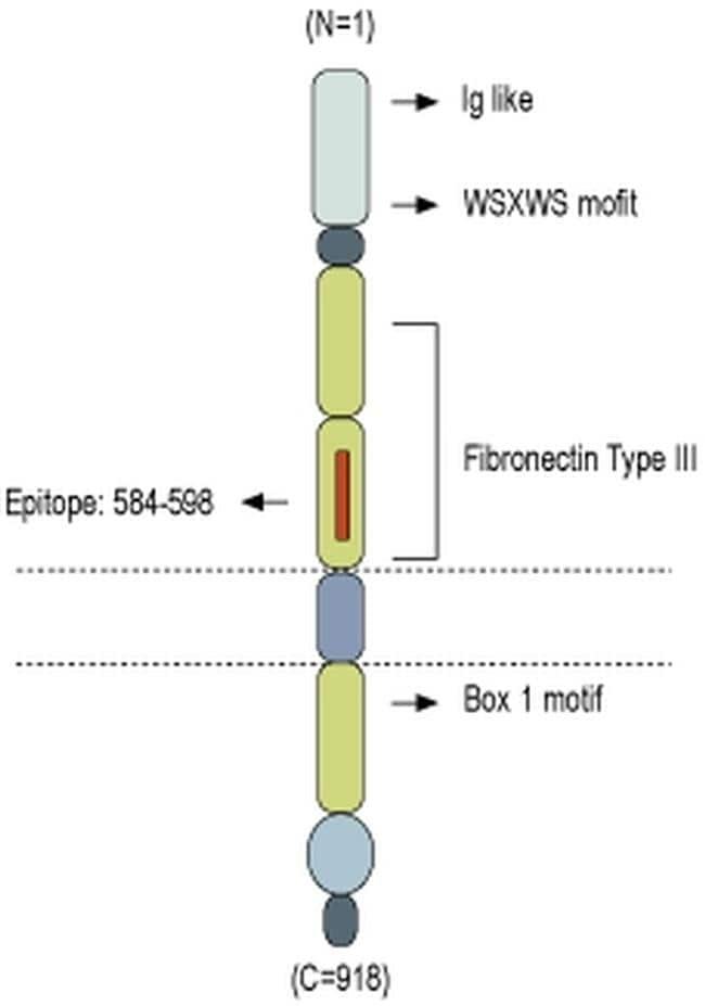 GP130 (extracellular) Antibody
