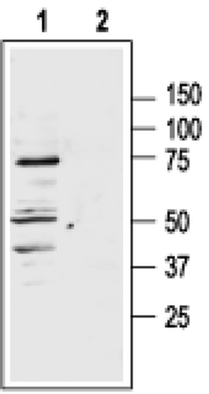 MC1R Antibody in Western Blot (WB)