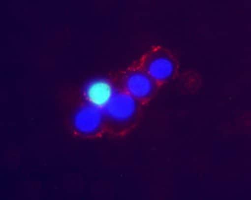 Norepinephrine Transporter (extracellular) Antibody in Immunocytochemistry (ICC)