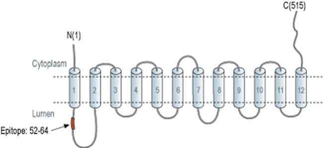 VMAT2 Antibody