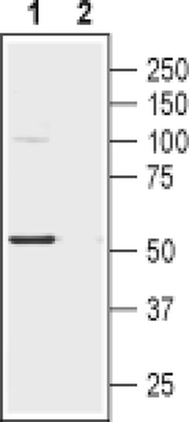CHRNA2 (extracellular) Antibody in Western Blot (WB)