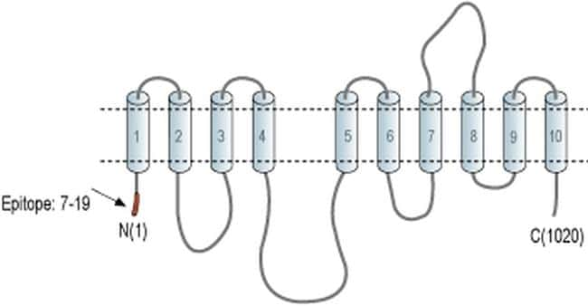 ATP1A2 Antibody