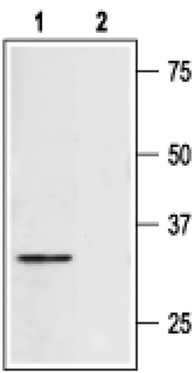 Syntaxin 4 Antibody in Western Blot (WB)