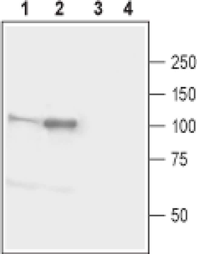 Neuroligin 1 (extracellular) Antibody in Western Blot (WB)