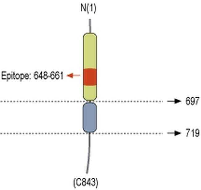 Neuroligin 1 (extracellular) Antibody