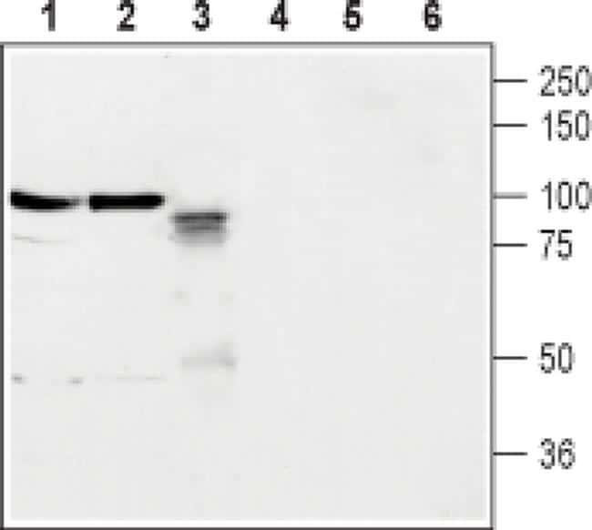 Neuroligin 2 (extracellular) Antibody in Western Blot (WB)