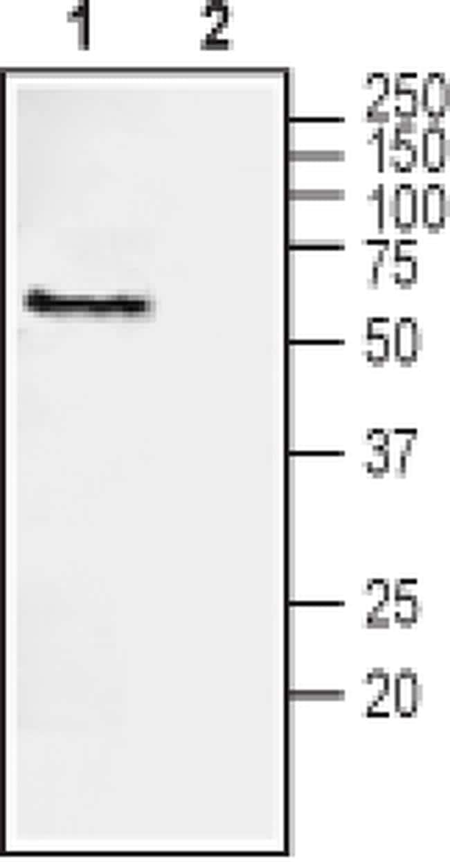NRG1 (extracellular) Antibody in Western Blot (WB)