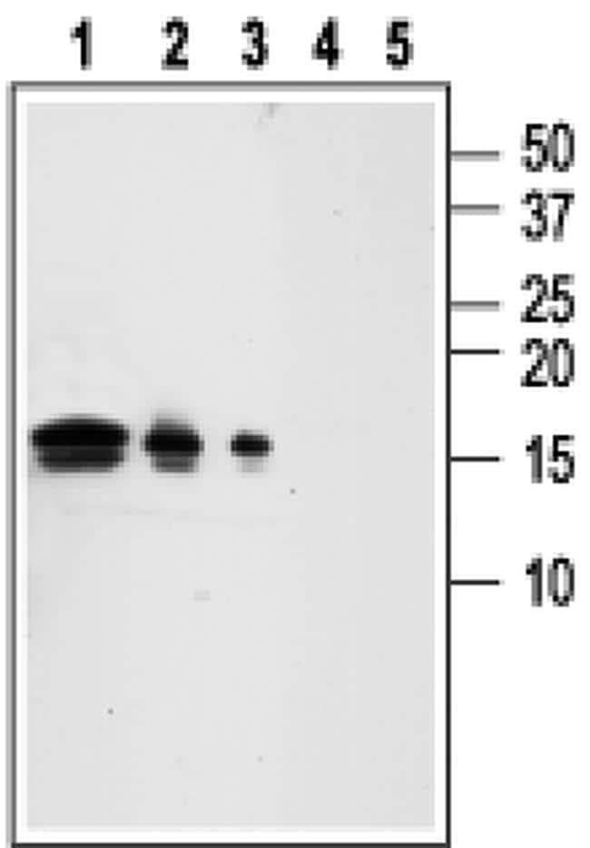 GDNF Antibody in Western Blot (WB)
