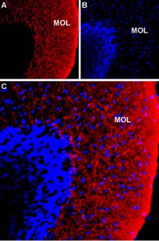 NKCC1 (extracellular) Antibody in Immunohistochemistry (Frozen) (IHC (F))