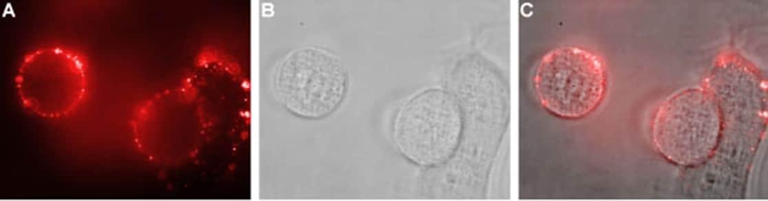 Nhe-1 (extracellular) Antibody in Immunocytochemistry (ICC)