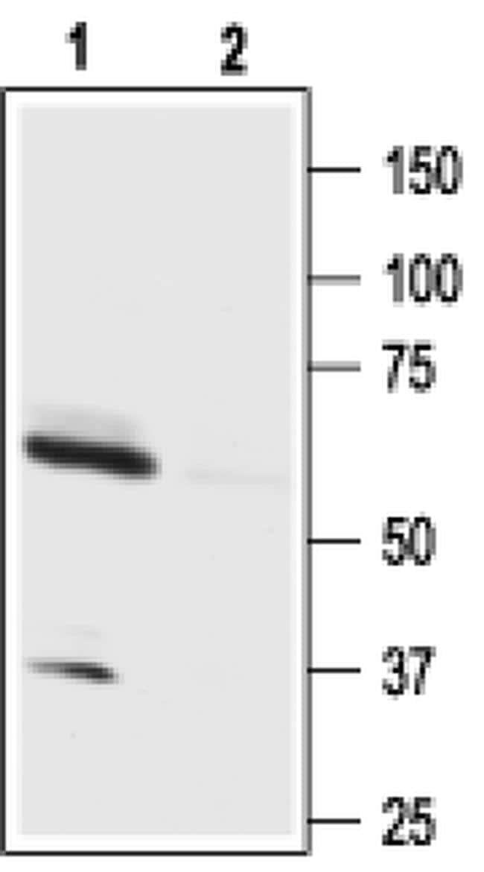 Orexin Receptor 1 Antibody in Western Blot (WB)