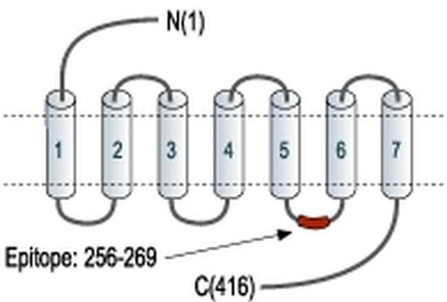 Orexin Receptor 1 Antibody