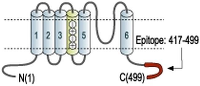 KV1.2 (KCNA2) Antibody