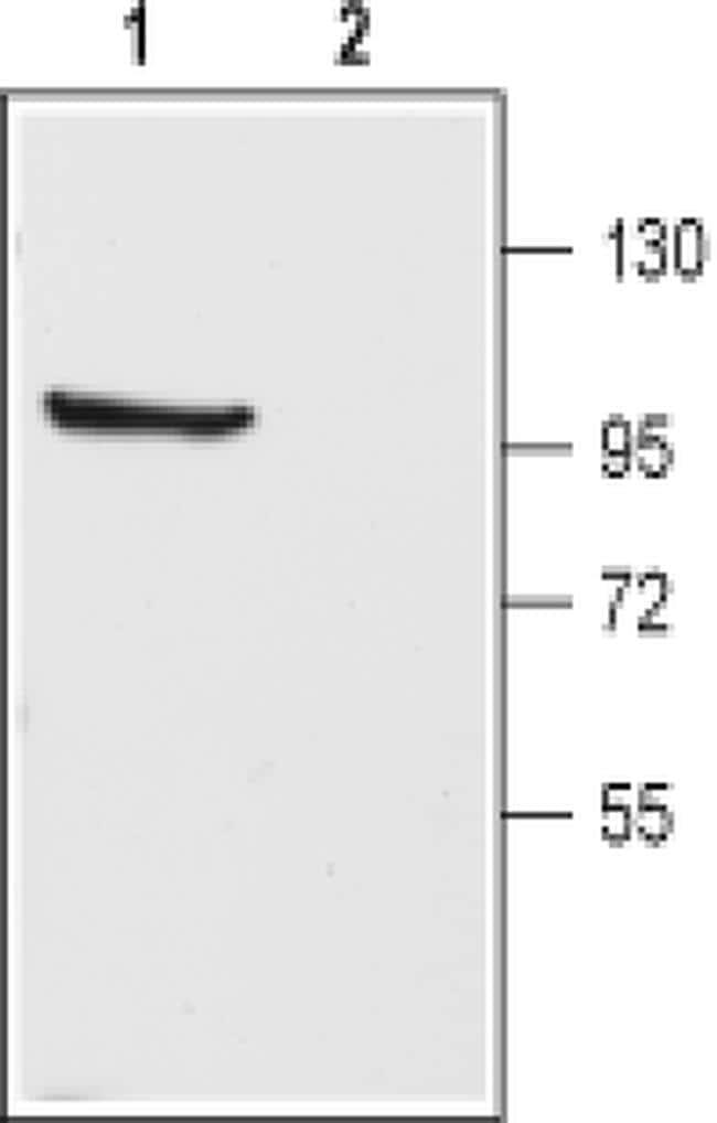 KV3.1b (KCNC1) Antibody in Western Blot (WB)