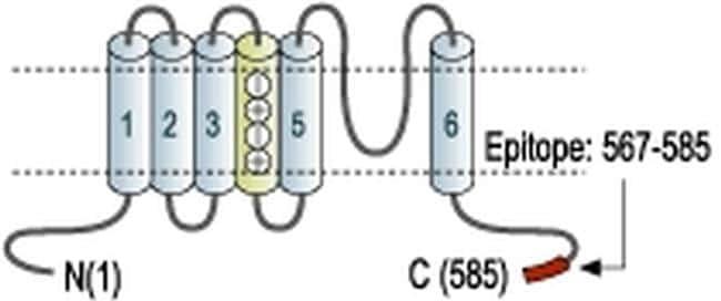 KV3.1b (KCNC1) Antibody