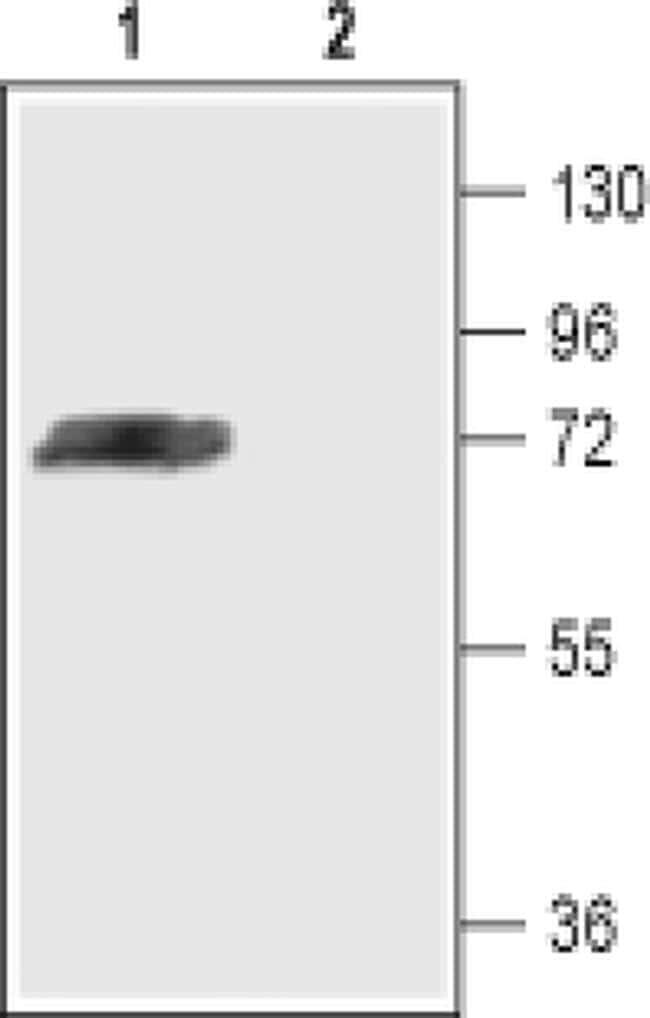 KV4.3 (KCND3) Antibody in Western Blot (WB)