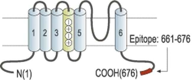 KCNQ1 Antibody