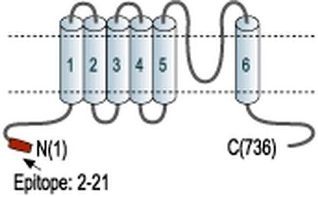 KCNN3 Antibody