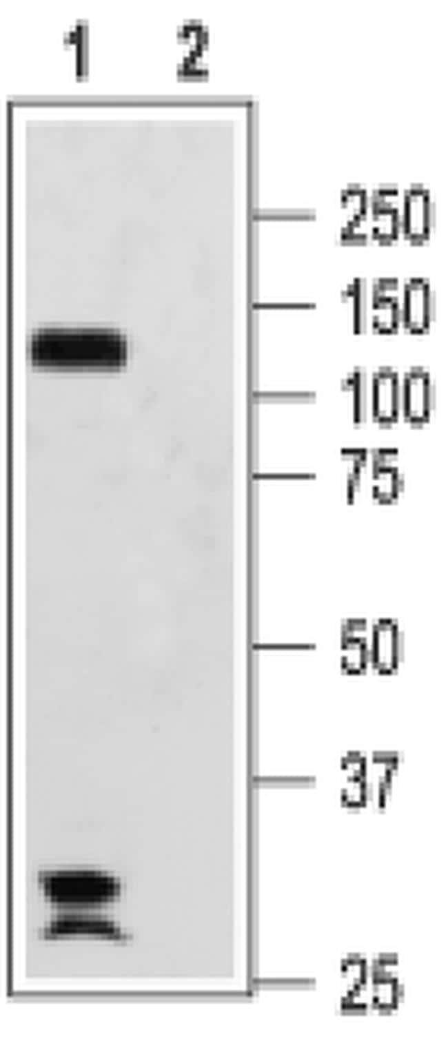 HCN2 Antibody in Western Blot (WB)