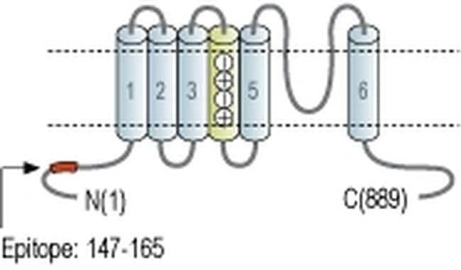 HCN2 Antibody