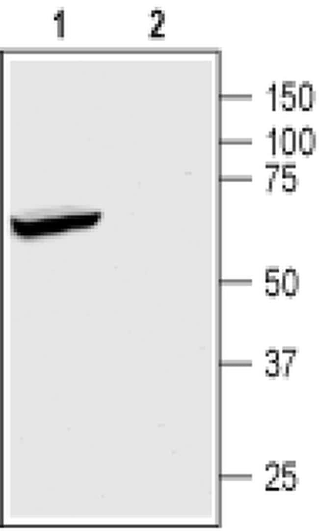 KCNK2 Antibody in Western Blot (WB)