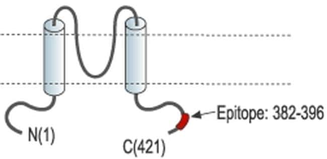 Kir6.1 (KCNJ8) Antibody