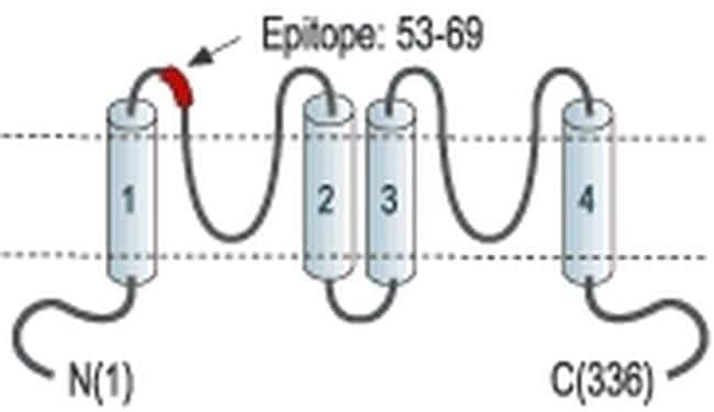 KCNK1 (extracellular) Antibody