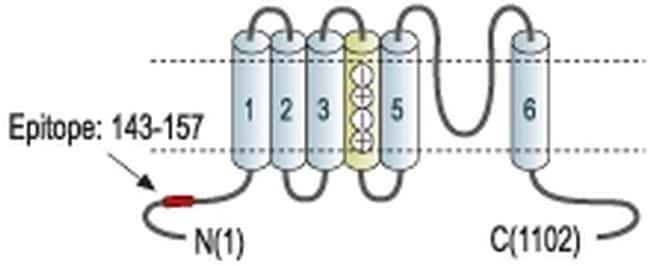 KCNH8 Antibody
