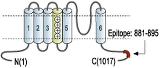 KCNH4 Antibody