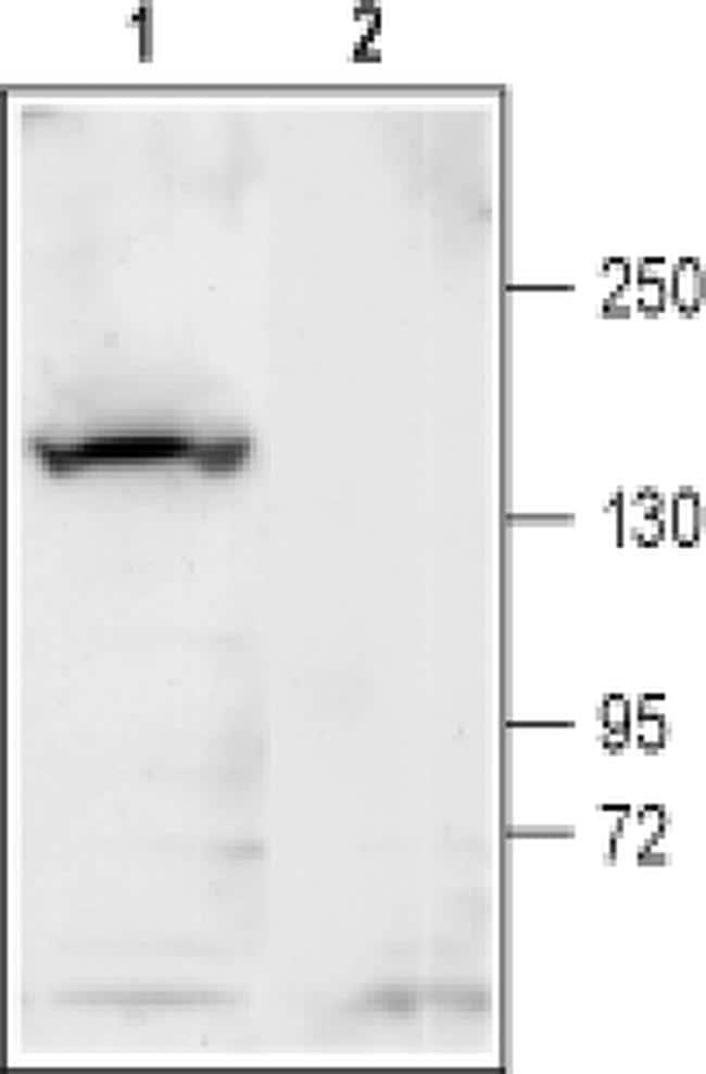 KCNT1 Antibody in Western Blot (WB)