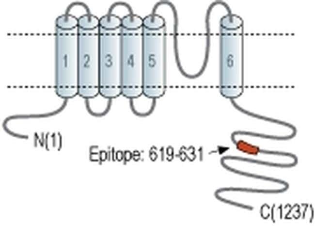 KCNT1 Antibody