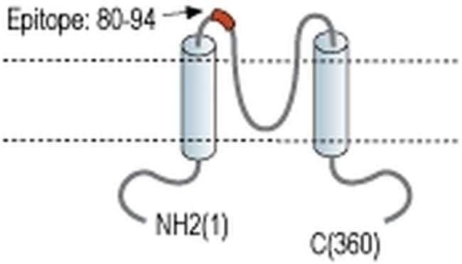 Kir7.1 (KCNJ13) (extracellular) Antibody