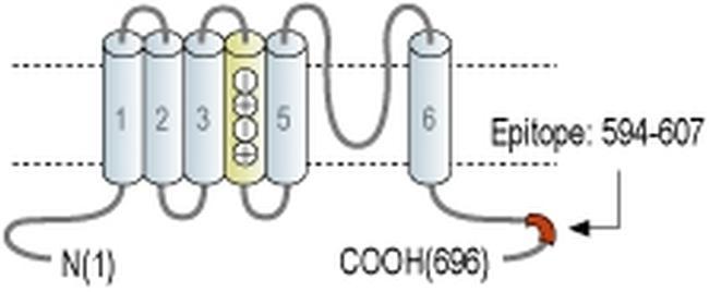 KCNQ4 Antibody