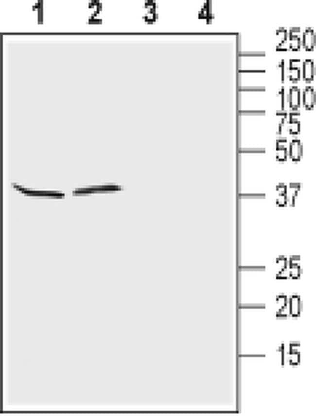 Kir4.1 (KCNJ10) (extracellular) Antibody in Western Blot (WB)