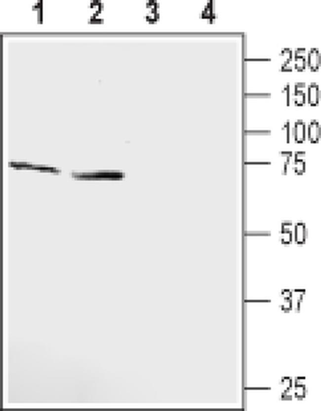KCNQ1 (extracellular) Antibody in Western Blot (WB)