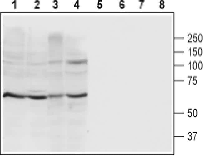 P2X4 (extracellular) Antibody in Western Blot (WB)